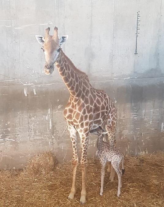 La nueva jirafa del Zoológico Bíblico de Jerusalén junto a su mamá, Maya