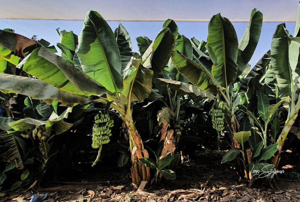 Plantas de banano
